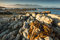 Sunset on rocky shores of Kaikoura coastline with Kaikouras mountains and seaweed, Kaikoura, Marlborough Region, South Island, East Coast, New Zealand