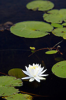 A water lily grows in a pond at Seney National Wildlife Refuge in Seney Michigan.