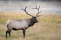 American Elk or Wapiti male (Cervus canadensis), Yellowstone National Park, USA
