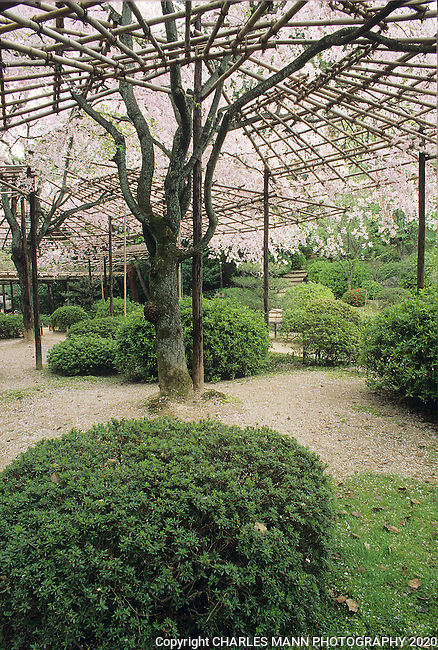 Kyoto's Heian Jingu shrine features a large garden containing these cherry trees which spread on bamboo supports to enhance their blooming effect.