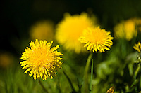 Bright yellow Dandelions against a black background  (Taraxacum officinale)