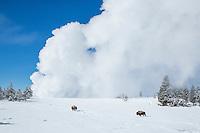 Bison during winter in Yellowstone near erupting geyser