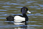 Tufted Duck - Aythya fuligula - male