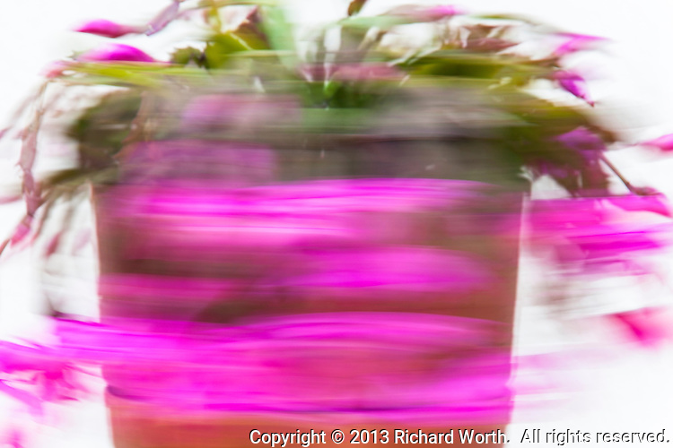 A spinning Thanksgiving cactus in bloom - flinging pink everywhere.