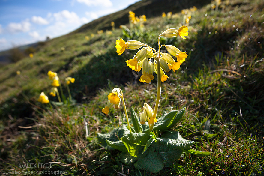 Cowslips {Primula veris} growing in limestone dale, Peak District National Park, Derbyshire, UK. April.
