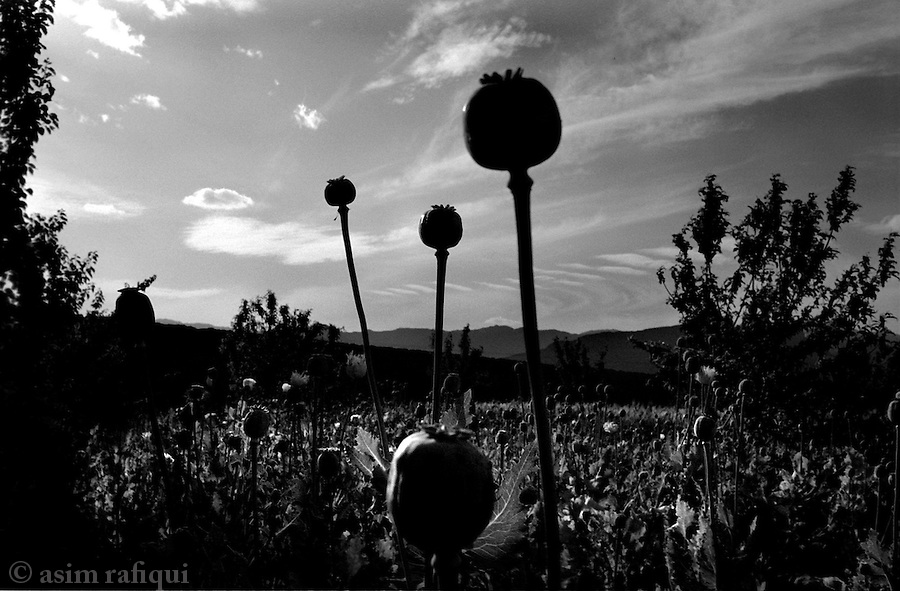 azam warsak, south waziristan, april 2004: behind high walls, opium fields.  a crop only recently introduced into this area from afghanistan, unprocessed opium is transported through iran and afghanistan and on to europe.<br />