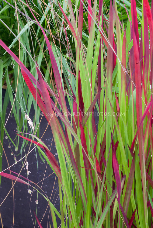 imperata cylindrica rubra plant flower stock