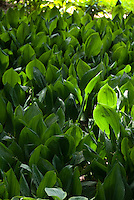 Convallaria majus Lily of the Valley backlit, mass of plants and leaves foliage in summer