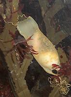 Kleingefleckter Katzenhai, Eikapsel, Ei, Eier, Laich zwischen Algen mit leicht durchscheinendem Embryo, Kleiner Katzenhai, Scyliorhinus canicula, Scyllium canicula, lesser spotted dogfish, smallspotted dogfish, rough hound, smallspotted catshark