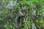 Gray squirrel feeding on  vegetation