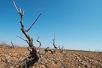 spanish vine