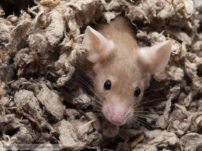 "A tan female mouse pops her head out of the bedding (""Oh hai!""), in a behavior anyone who's had pet mice will recognize.  The mouse has just finished burrowing herself under the bedding and crawling underneath it a short ways, before popping her head up to scout her new surroundings."