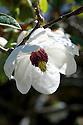 Magnolia sieboldii subsp. sinensis, late April. From southwestern China.