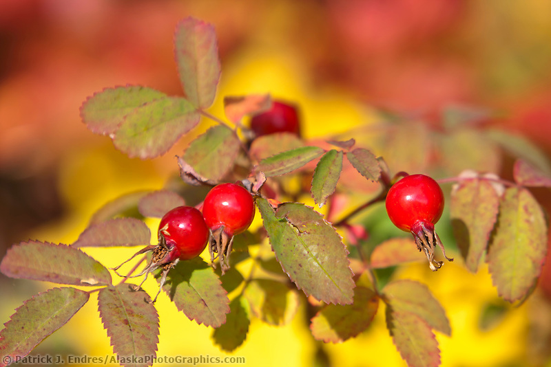 Autumn foliage, wild rose, in the boreal forest floor, Peters Creek, southcentral, Alaska.