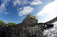 The marine iguana (Amblyrhynchus cristatus) is an iguana found only on the Galápagos Islands that has the ability, unique among modern lizards, to forage in the sea, making it a marine reptile. The iguana can dive over 9 m (30 ft) into the water