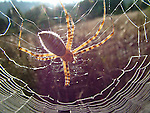 spider and web, Henry Cowell Redwoods SP
