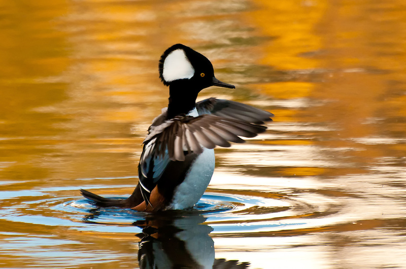 A male hooded merganser shakes his wings in a small pond in Medina, Washington.