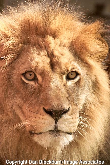 Lion king poker face