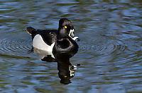 Ring-necked Duck (Aythya collaris)