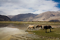 Horses graze on grass in the wetlands with the backdrop of the scenery of Nubra Valley, Ladakh on 4th June 2009. The valley of Ladakh is located in the Indian Himalayas, in the northern state of Jammu and Kashmir. Photo by Suzanne Lee