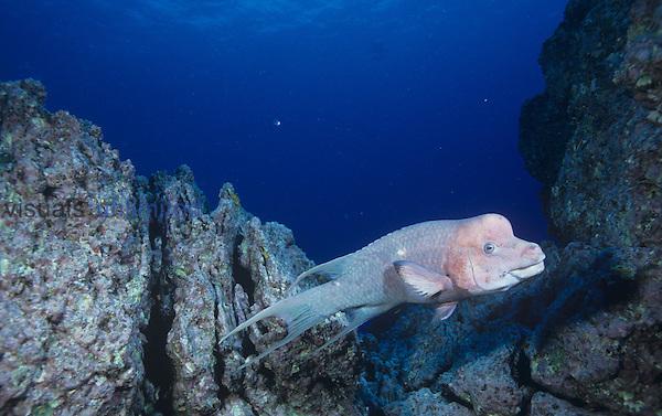 Male Mexican Hogfish  ,Bodianus diplotaenia, Labridae, Mexico