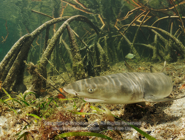 qa32641-D. young Lemon Shark (Negaprion brevirostris) swims among roots of mangroves. Bahamas, Atlantic Ocean..Photo Copyright © Brandon Cole. All rights reserved worldwide.  www.brandoncole.com..This photo is NOT free. It is NOT in the public domain. This photo is a Copyrighted Work, registered with the US Copyright Office. .Rights to reproduction of photograph granted only upon payment in full of agreed upon licensing fee. Any use of this photo prior to such payment is an infringement of copyright and punishable by fines up to  $150,000 USD...Brandon Cole.MARINE PHOTOGRAPHY.http://www.brandoncole.com.email: brandoncole@msn.com.4917 N. Boeing Rd..Spokane Valley, WA  99206  USA.tel: 509-535-3489