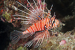 Va Giri, Viligili Island, Huvadhoo Atoll, Maldives; a Spotfin Lionfish (Pterois antennata) swimming over the coral reef