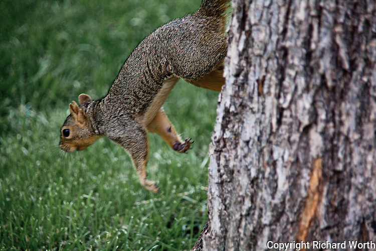 An Eastern fox squirrel bounds from a tree to the ground.