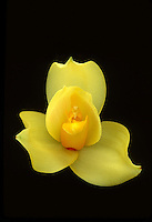 Angulocaste Olympus 'Willow Pond' orchid intergeneric hybrid of Angulocaste Apollo x Lycaste Sunrise