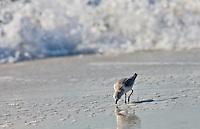 Sanderling bird, Calidris alba,  feeding on shoreline at Anna Maria Island, Gulf of Mexico,  Florida, USA