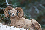 huge make ram bedded in snow tall grass