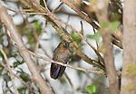 Male tyrian metal-tail, Metallura tyrianthina. Yanacocha Reserve, Ecuador