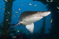 sand tiger shark photos