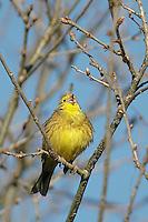 Goldammer, singendes Männchen, Gold-Ammer, Ammer, Emberiza citrinella, yellowhammer