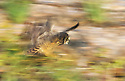 Galapagos short-eared owl (Asio flammeus galapagoensis)