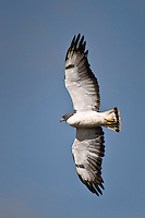 White-tailed Hawk in flight