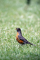 Robin, Turdus migratorius,
