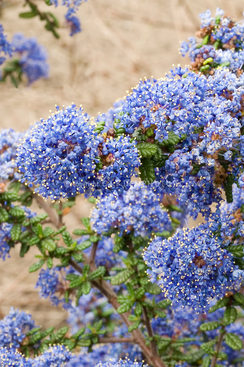 Ceanothus 'Victoria' many blue flowers impressus thyrsiflora, thyrsiflorus