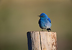 Mountain bluebird, Yellowstone National Park, Wyoming