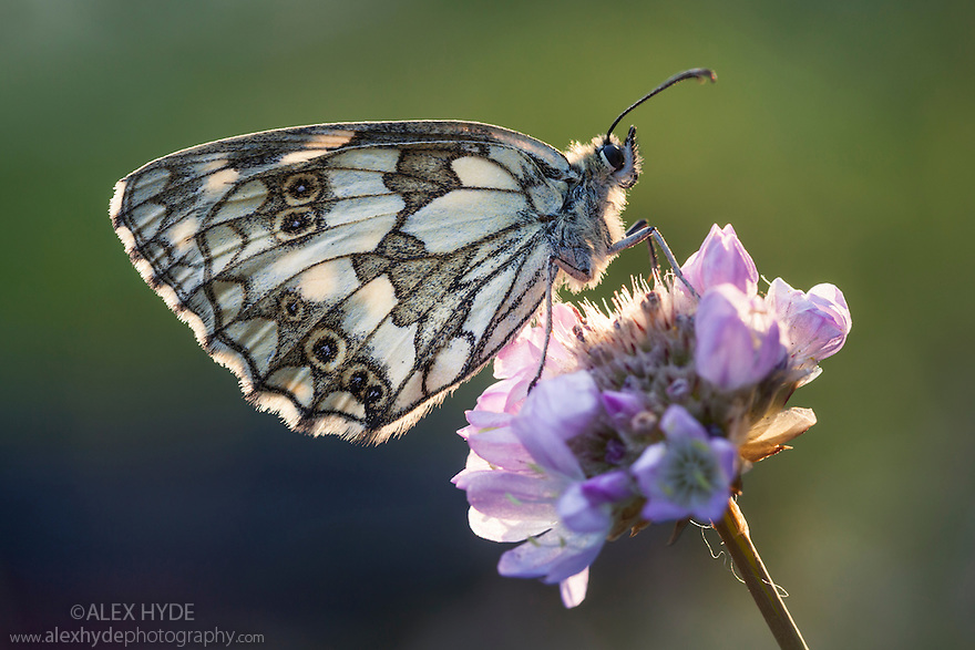 Marbled White {Melanargia galathea}, Gran Paradiso National Park, Aosta Valley, Pennine Alps, Italy. July.
