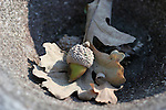 Acorn at Indian Grinding Rock State Historic Park