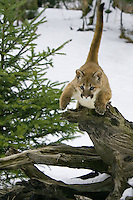 Puma kitten leaping from the top of an old tree stump - CA