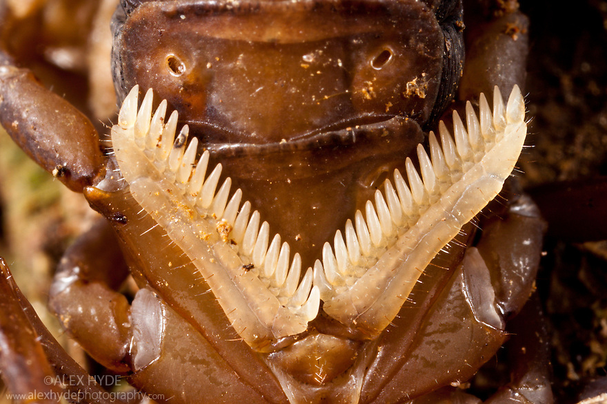 Sensory structures on underside of scorpion {Scorpiones} known as Pectines, Andasibe-Mantadia National Park, Madagascar.