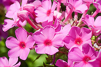 Phlox paniculata Flame Pink, dwarf variety of garden phlox