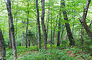 Hardwood forest at Lafayette Brook Scenic Area in the White Mountains of New Hampshire during the summer months.