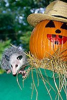 "Baby possom, Didelphis marsupialis, riding on the shoulder of a straw halloween ""man"" with a painted smile"