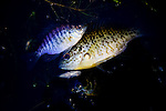 Stunned fish caught by UC Davis researcher Louise Conrad on an electrofishing trip looking into invasive species near Discovery Bay, December 14, 2009.