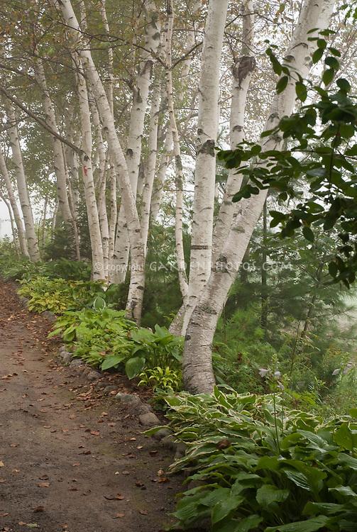 Birch trees, path, hosta perennials, shade garden