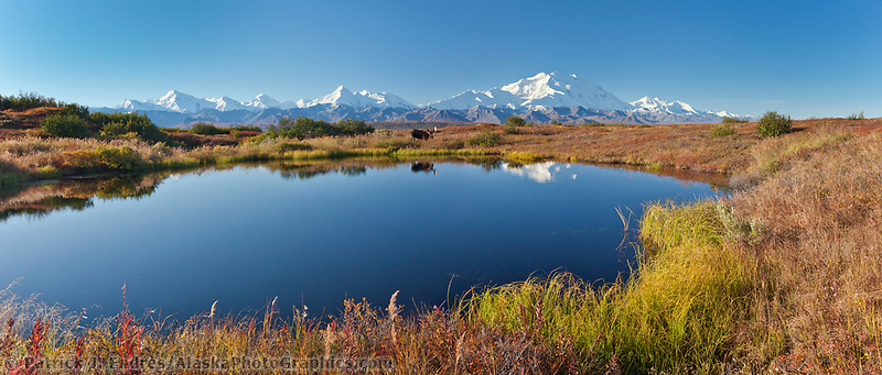 Panorama of bull moose on the autumn colored tundra by a small kettle pond,  Denali in the distance, Denali National Park, Alaska.