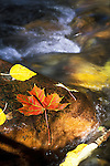 A red maple leaf on a rock in the Rattlesnake Creek flowing near Missoula, Montana